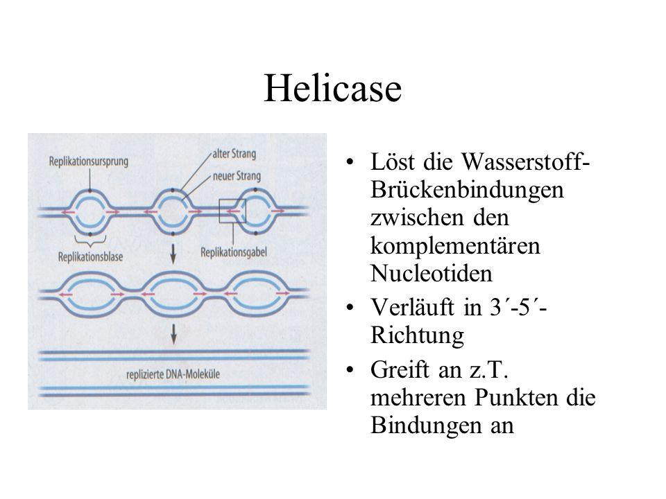 Helicase Löst die Wasserstoff-Brückenbindungen zwischen den komplementären Nucleotiden. Verläuft in 3´-5´-Richtung.