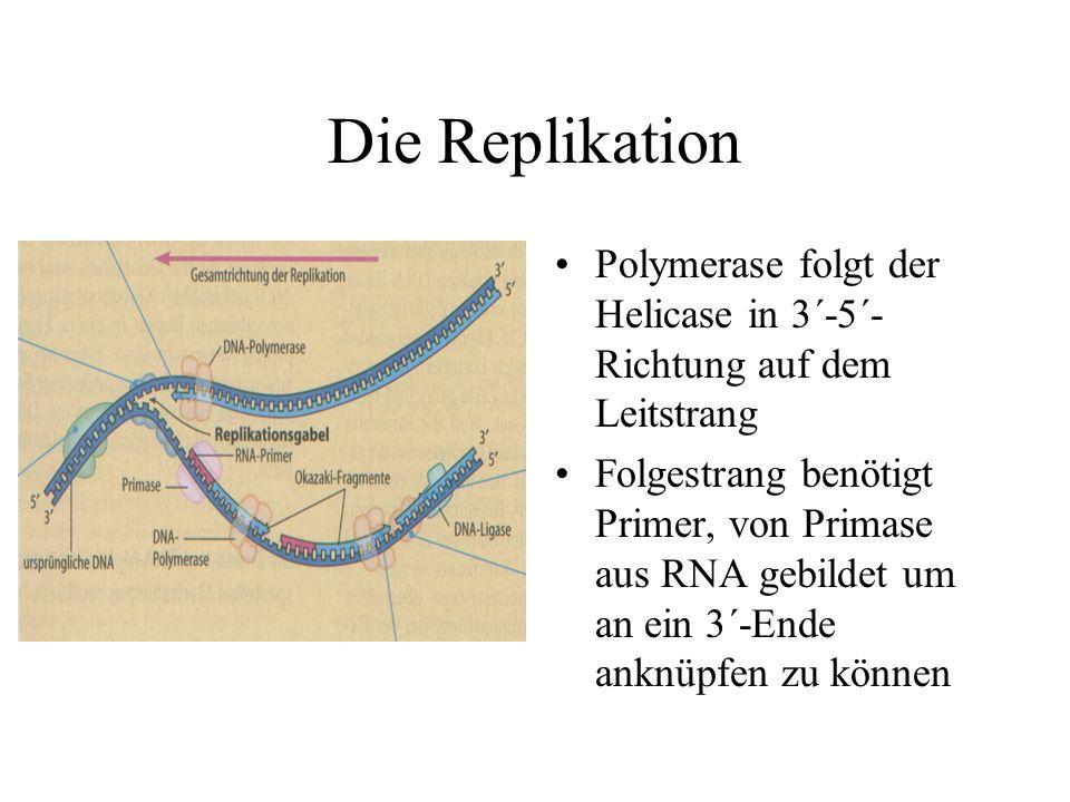 Die Replikation Polymerase folgt der Helicase in 3´-5´-Richtung auf dem Leitstrang.