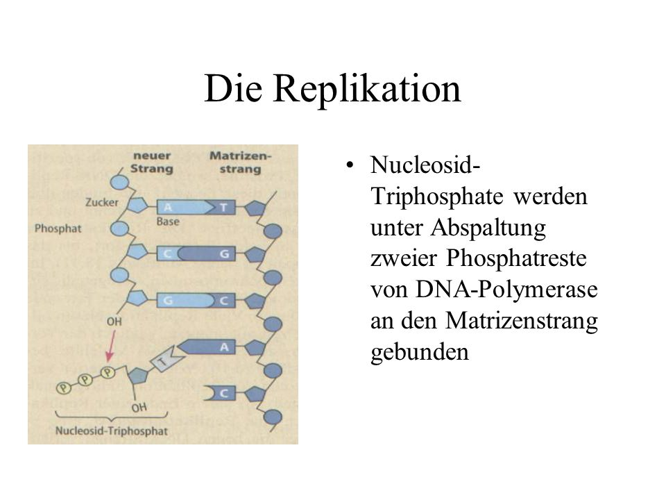 Die Replikation Nucleosid-Triphosphate werden unter Abspaltung zweier Phosphatreste von DNA-Polymerase an den Matrizenstrang gebunden.