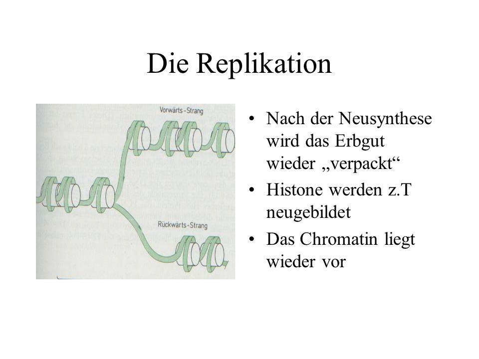 """Die Replikation Nach der Neusynthese wird das Erbgut wieder """"verpackt"""