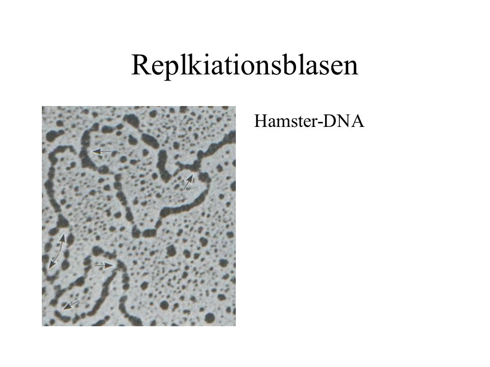Replkiationsblasen Hamster-DNA