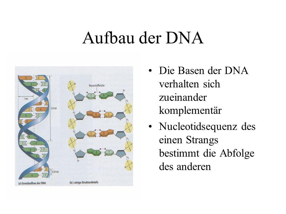 Aufbau der DNA Die Basen der DNA verhalten sich zueinander komplementär.