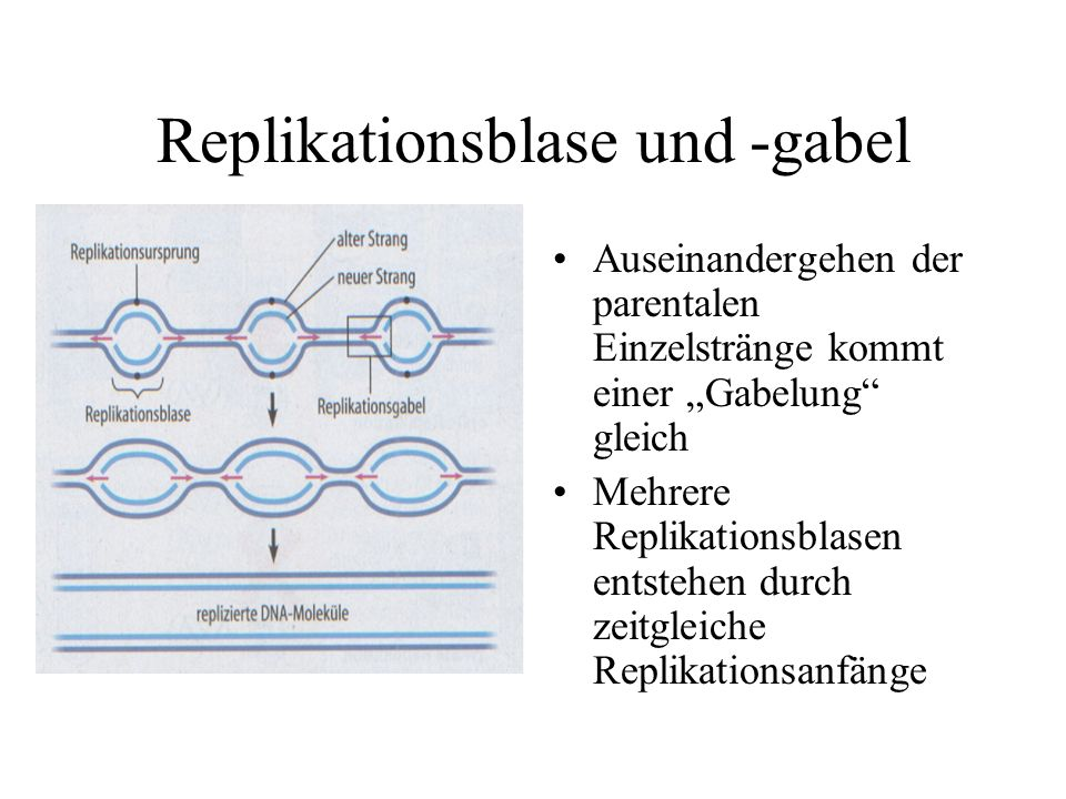 Replikationsblase und -gabel