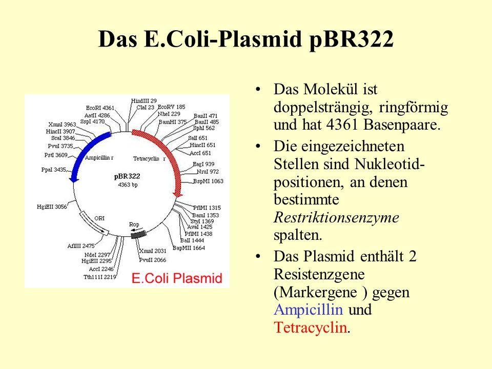 Das E.Coli-Plasmid pBR322 Das Molekül ist doppelsträngig, ringförmig und hat 4361 Basenpaare.