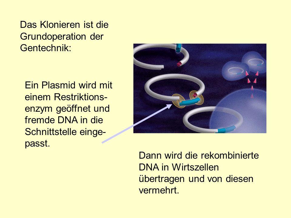 Das Klonieren ist die Grundoperation der Gentechnik: