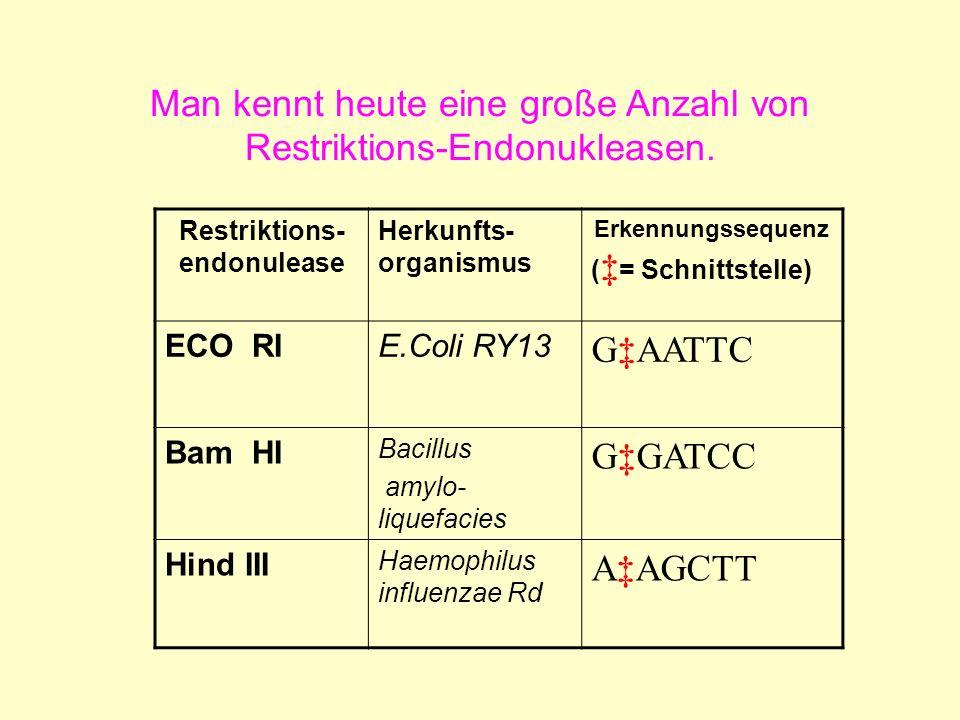 Man kennt heute eine große Anzahl von Restriktions-Endonukleasen.