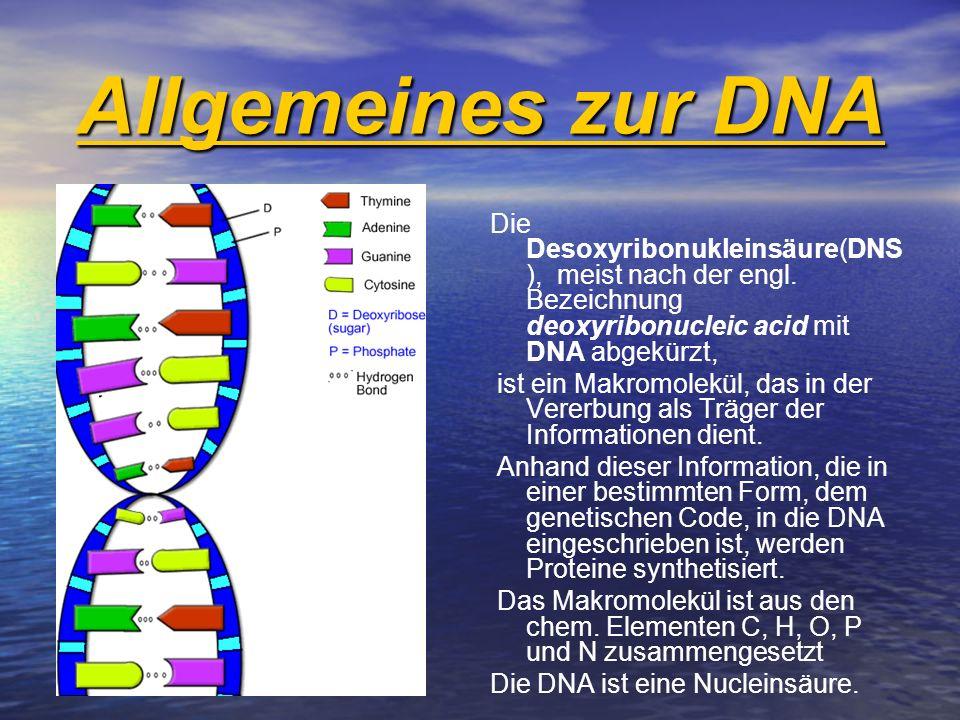 Allgemeines zur DNA Die Desoxyribonukleinsäure(DNS), meist nach der engl. Bezeichnung deoxyribonucleic acid mit DNA abgekürzt,