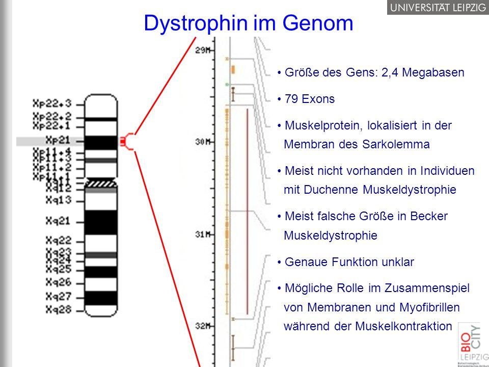 Dystrophin im Genom Größe des Gens: 2,4 Megabasen 79 Exons