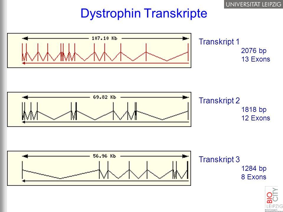 Dystrophin Transkripte