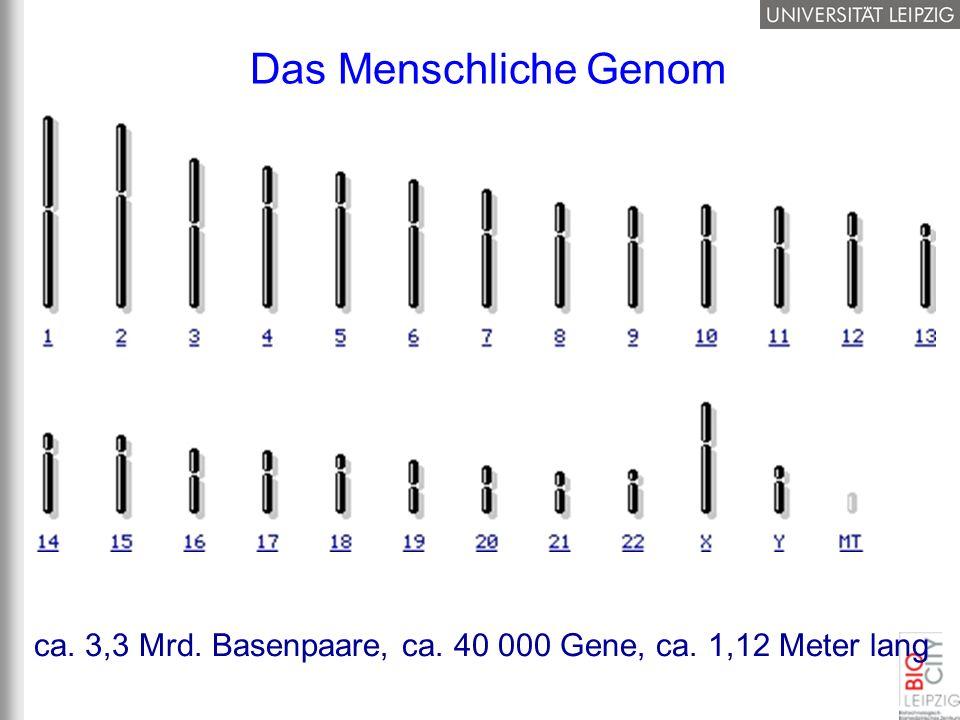 Das Menschliche Genom Spaghetti: 2mm dick, ca. 224km lang! Aufgewickelt in Kugel mit ca. 1m Durchmesser.