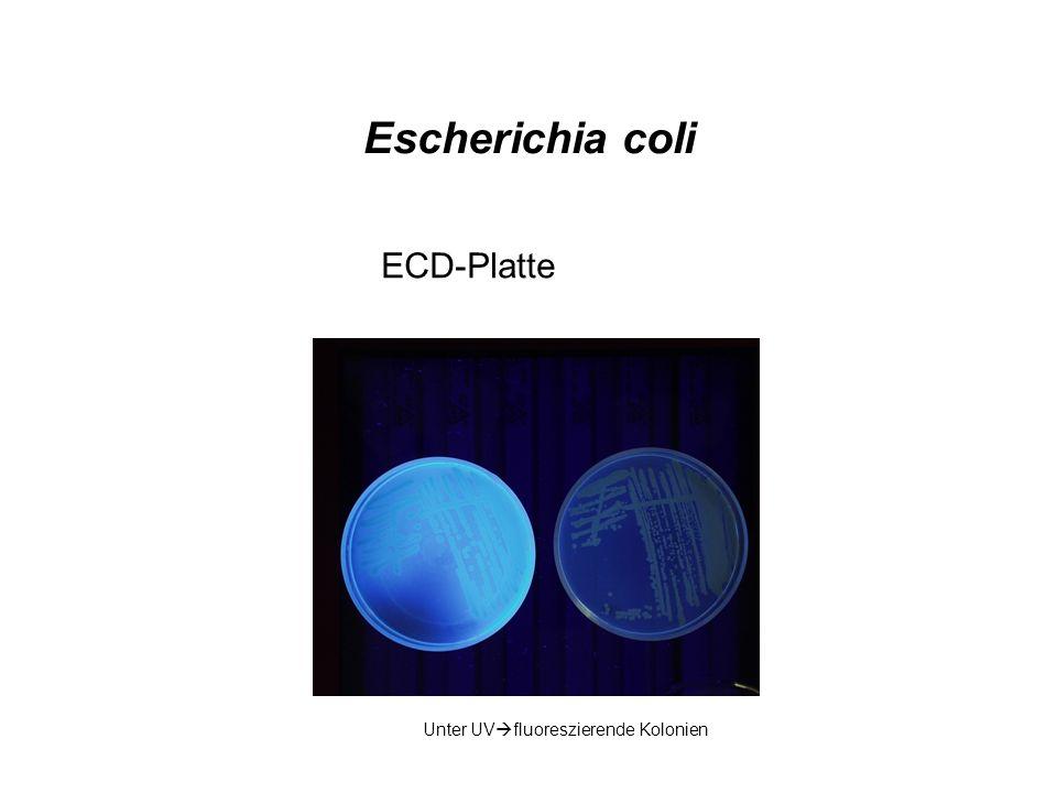 Escherichia coli ECD-Platte Unter UVfluoreszierende Kolonien