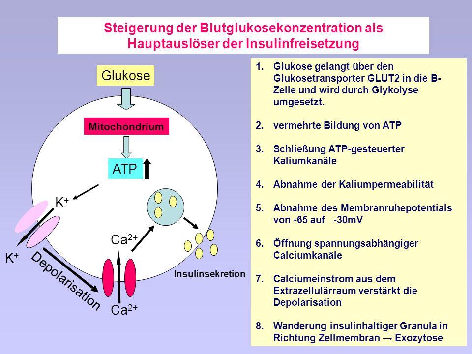 Steigerung der Blutglukosekonzentration als Hauptauslöser der Insulinfreisetzung