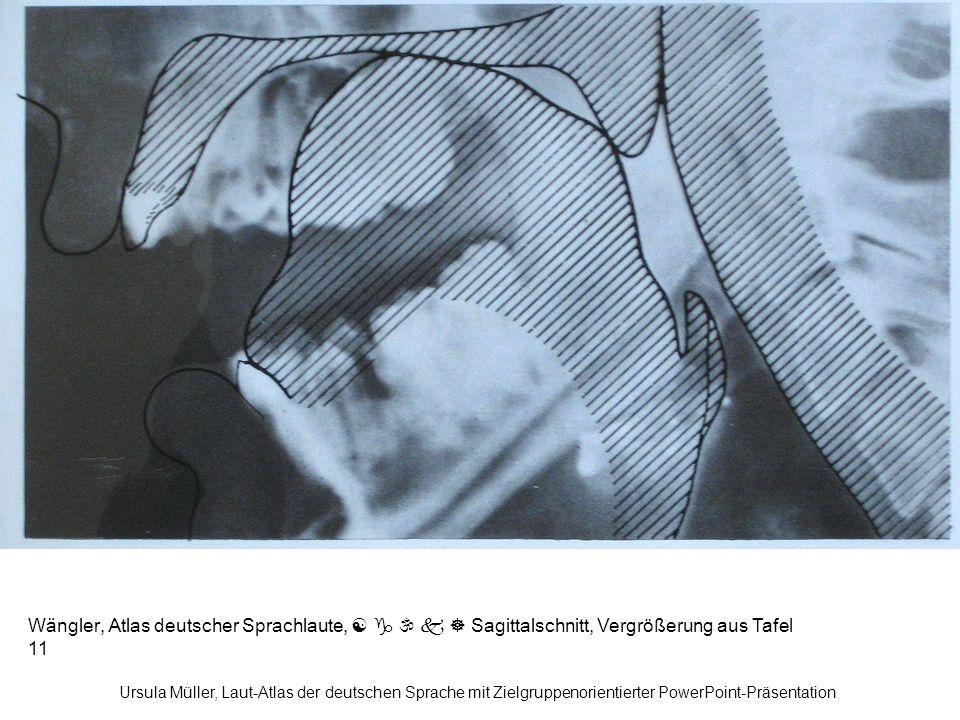 Wängler, Atlas deutscher Sprachlaute,      Sagittalschnitt, Vergrößerung aus Tafel 11