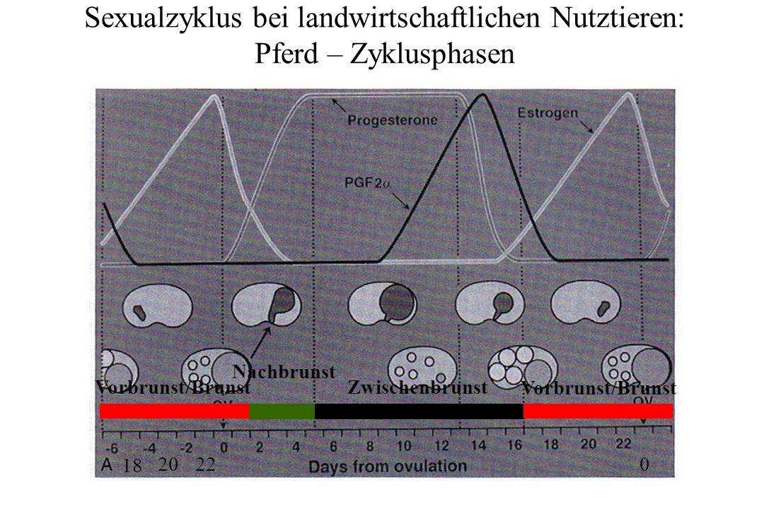 Sexualzyklus bei landwirtschaftlichen Nutztieren: Pferd – Zyklusphasen