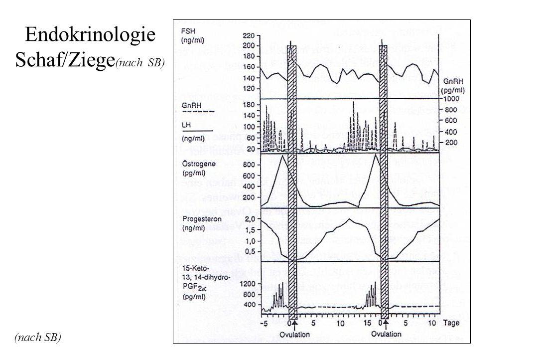 Endokrinologie Schaf/Ziege(nach SB)