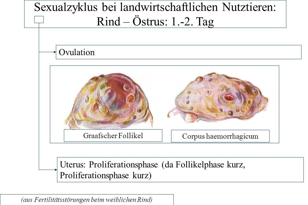 Sexualzyklus bei landwirtschaftlichen Nutztieren: Rind – Östrus: 1. -2
