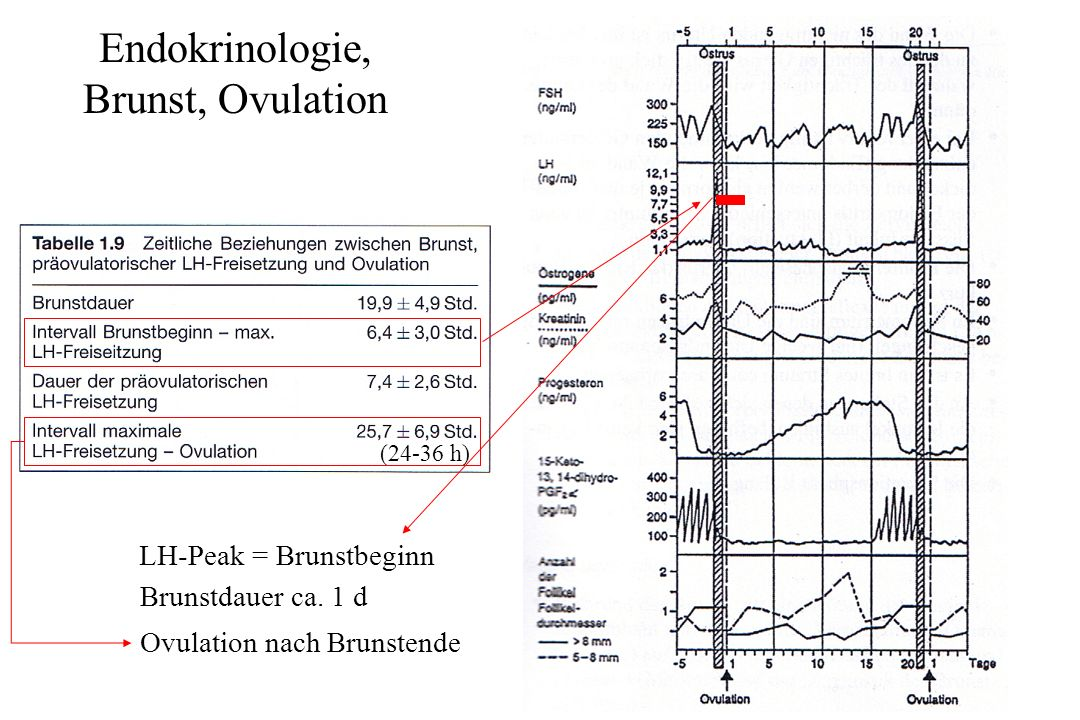 Endokrinologie, Brunst, Ovulation