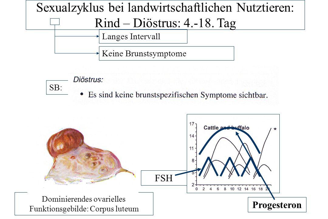 Dominierendes ovarielles Funktionsgebilde: Corpus luteum