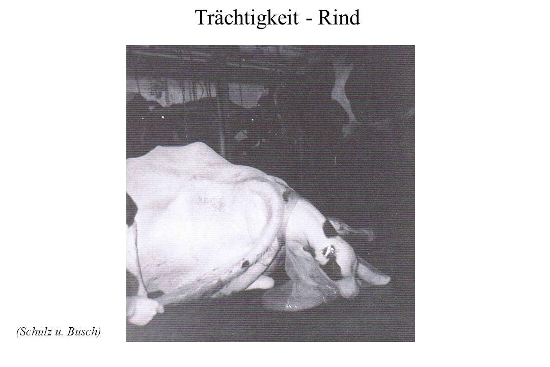 Trächtigkeit - Rind (Schulz u. Busch)