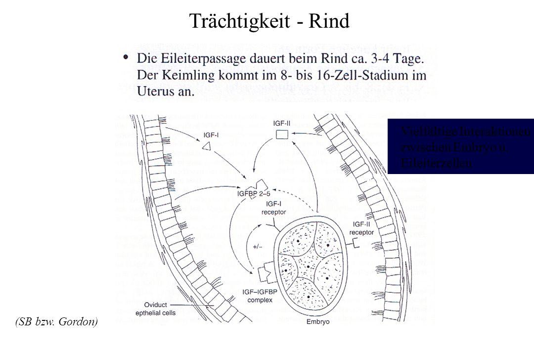 Trächtigkeit - Rind Vielfältige Interaktionen zwischen Embryo u. Eileiterzellen (SB bzw. Gordon)