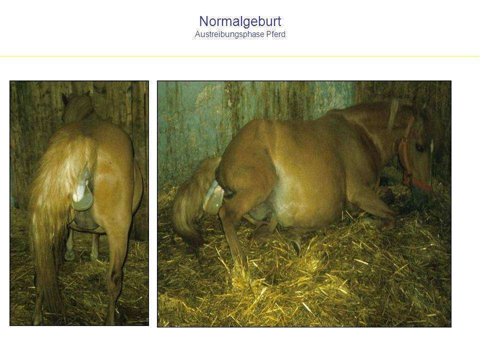 Normalgeburt Austreibungsphase Pferd