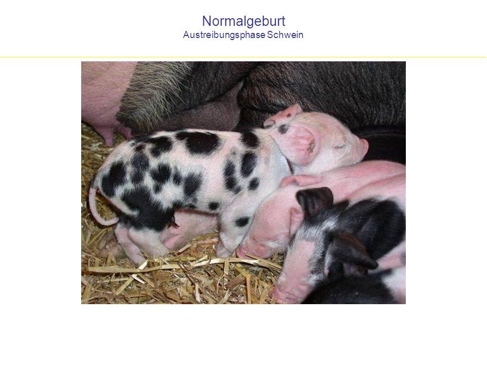 Normalgeburt Austreibungsphase Schwein