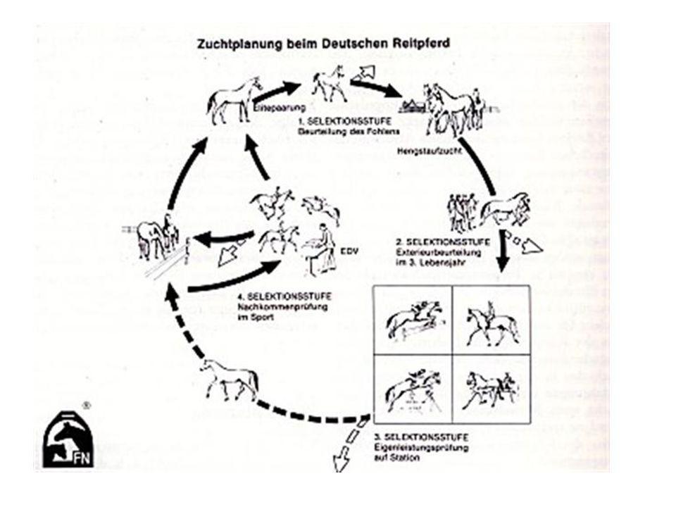 2. Selektionsstufe: Hengstvorauswahl (2,5 Jahre), tierärtzliche Untersuchung, Körung