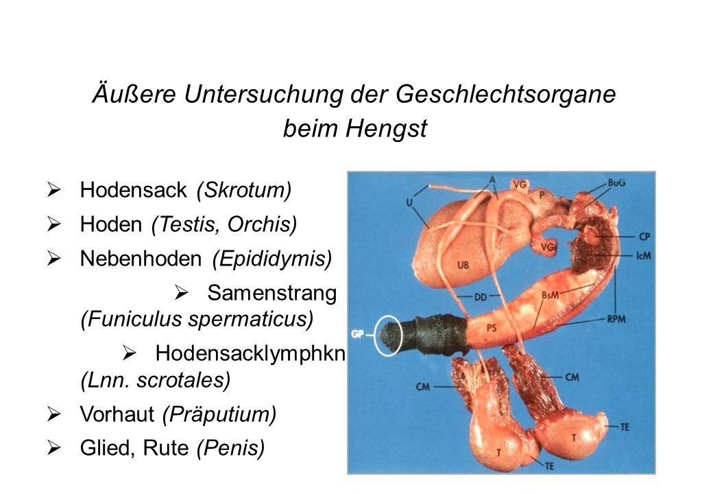 Äußere Untersuchung der Geschlechtsorgane beim Hengst