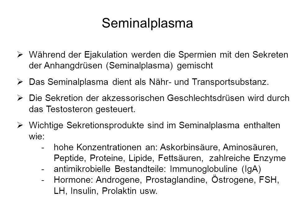 SeminalplasmaWährend der Ejakulation werden die Spermien mit den Sekreten der Anhangdrüsen (Seminalplasma) gemischt.