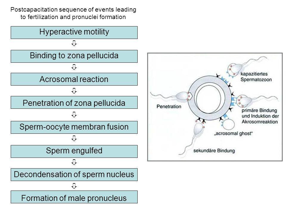 Binding to zona pellucida