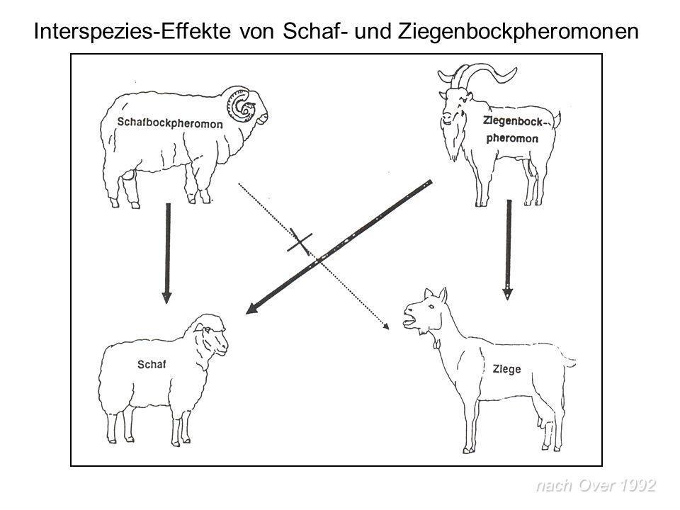 Interspezies-Effekte von Schaf- und Ziegenbockpheromonen