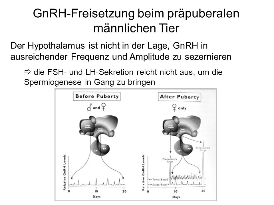 GnRH-Freisetzung beim präpuberalen männlichen Tier