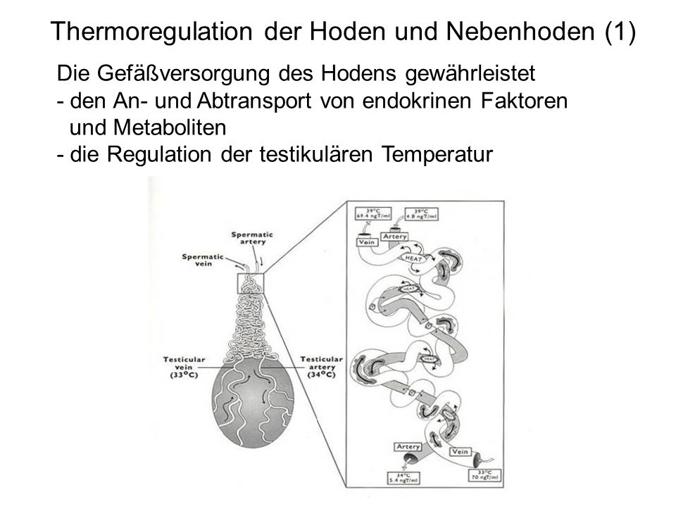 Thermoregulation der Hoden und Nebenhoden (1)
