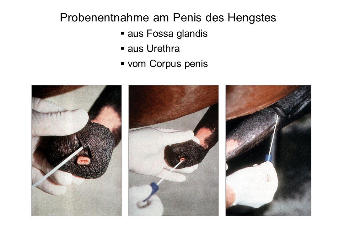 Probenentnahme am Penis des Hengstes