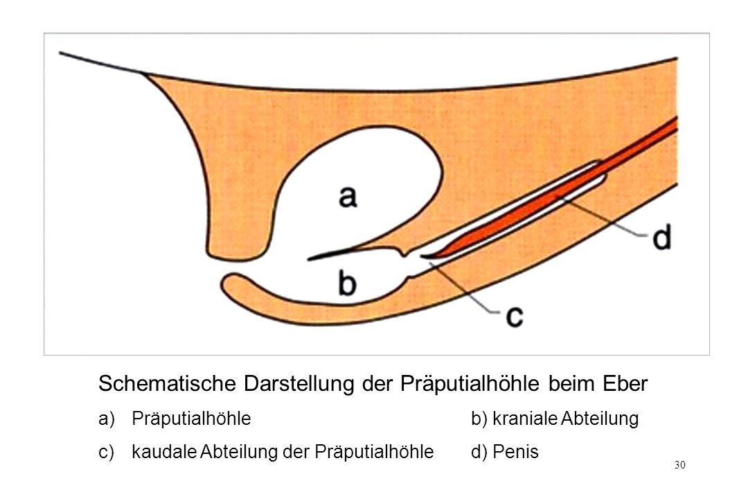Schematische Darstellung der Präputialhöhle beim Eber