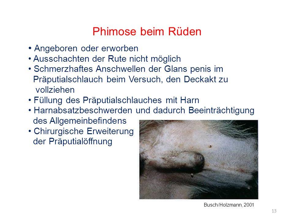 Phimose beim Rüden Angeboren oder erworben
