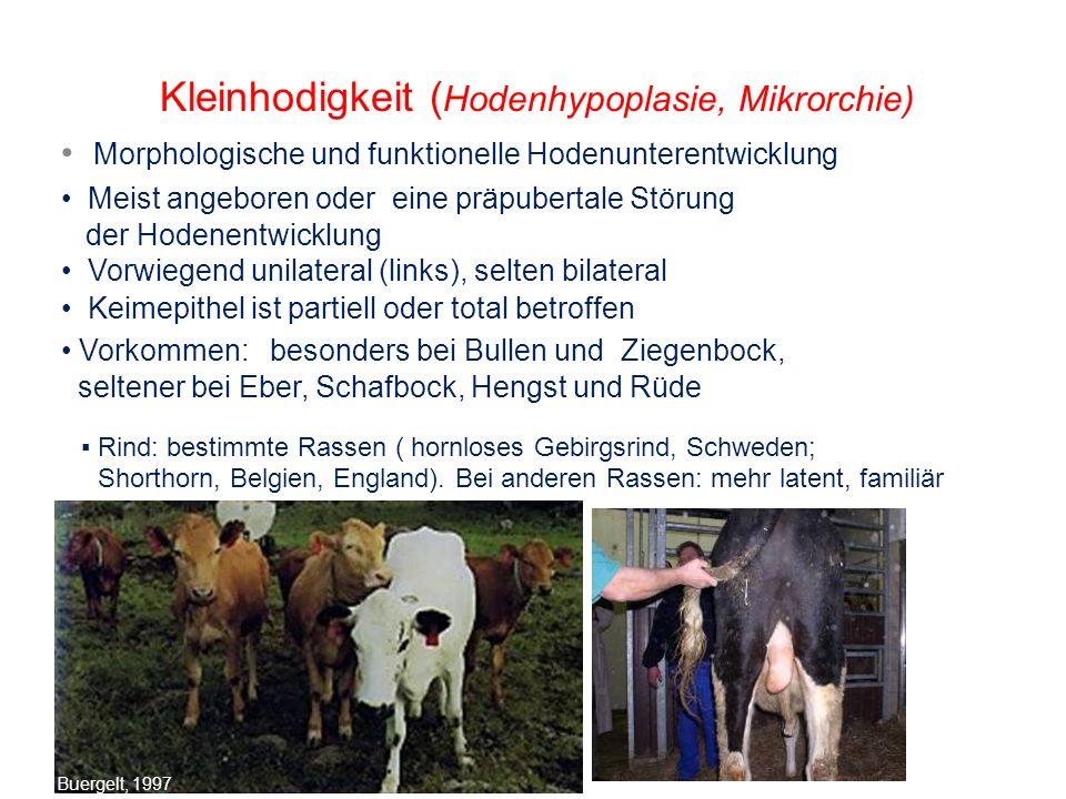 Kleinhodigkeit (Hodenhypoplasie, Mikrorchie)