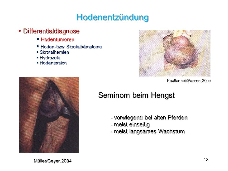 Hodenentzündung Differentialdiagnose Seminom beim Hengst Hodentumoren