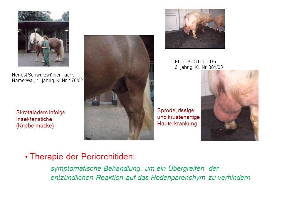 Therapie der Periorchitiden: