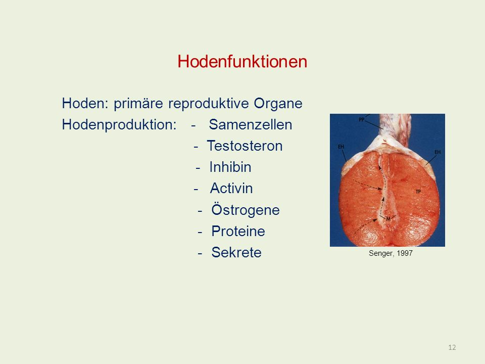 Hodenfunktionen Hoden: primäre reproduktive Organe