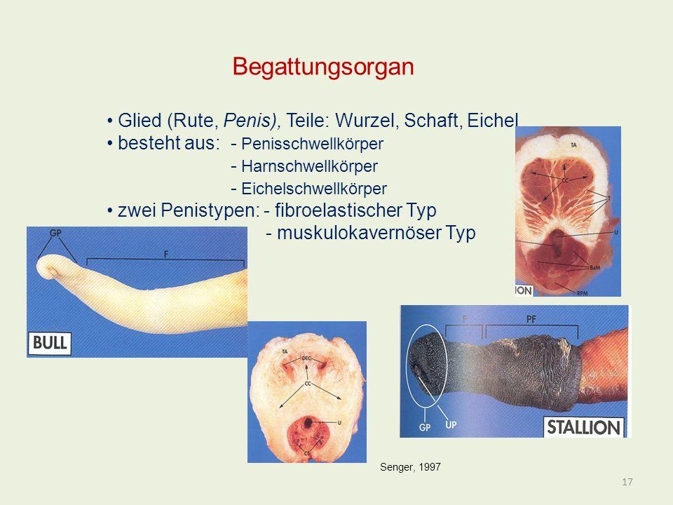Begattungsorgan Glied (Rute, Penis), Teile: Wurzel, Schaft, Eichel