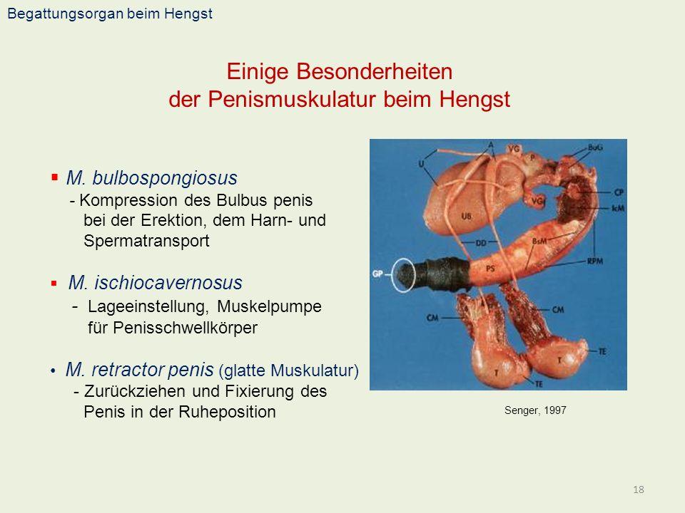 Einige Besonderheiten der Penismuskulatur beim Hengst