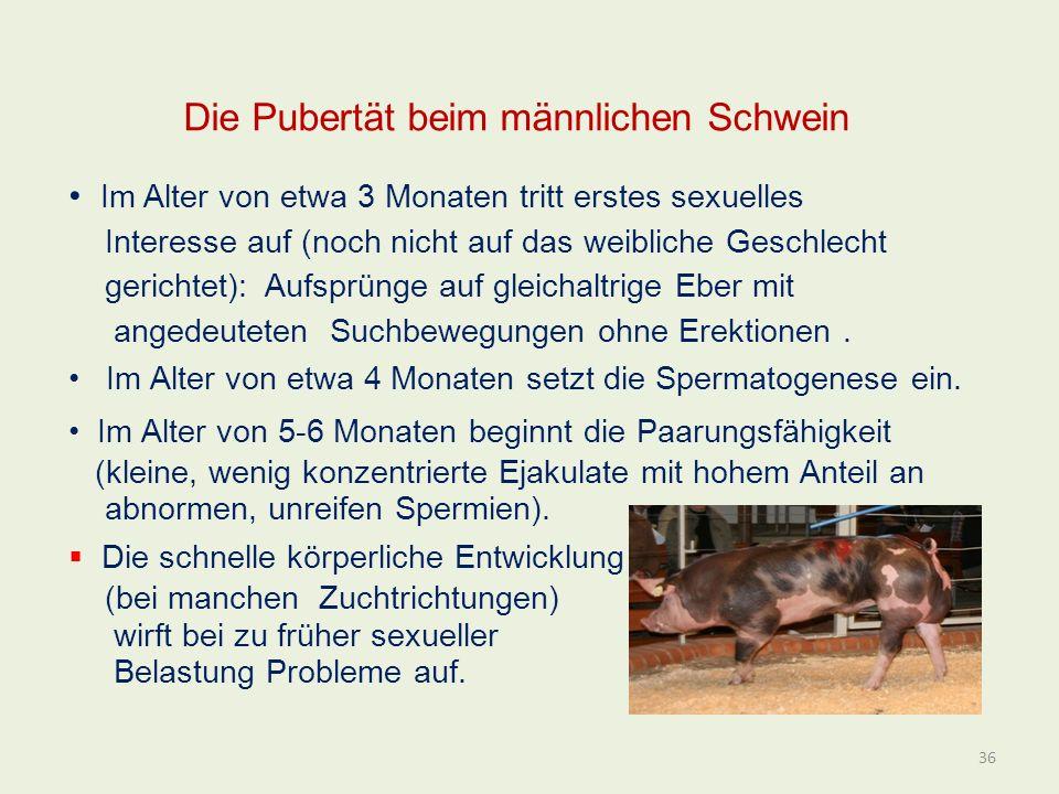 Die Pubertät beim männlichen Schwein