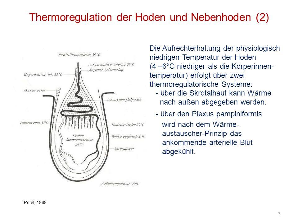 Thermoregulation der Hoden und Nebenhoden (2)