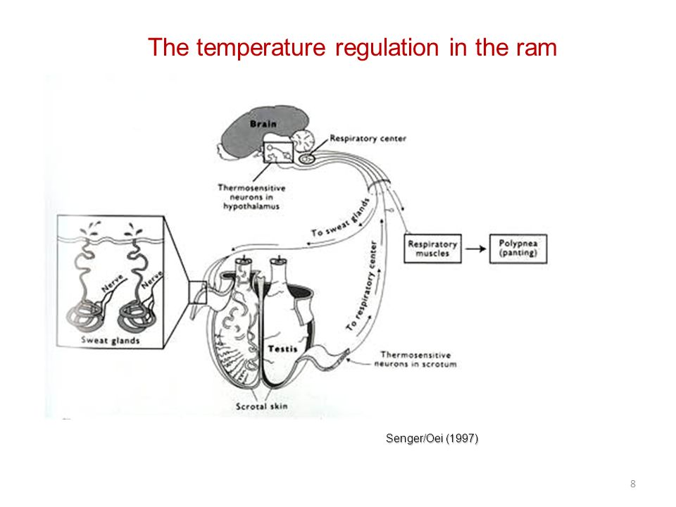 The temperature regulation in the ram