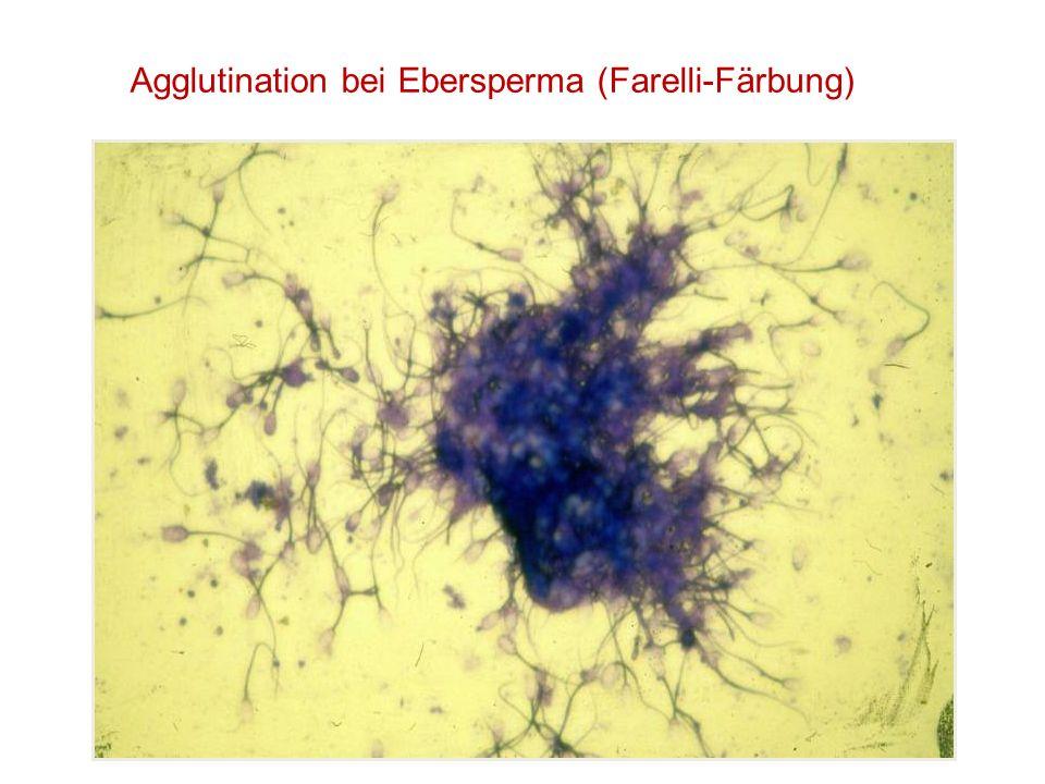 Agglutination bei Ebersperma (Farelli-Färbung)