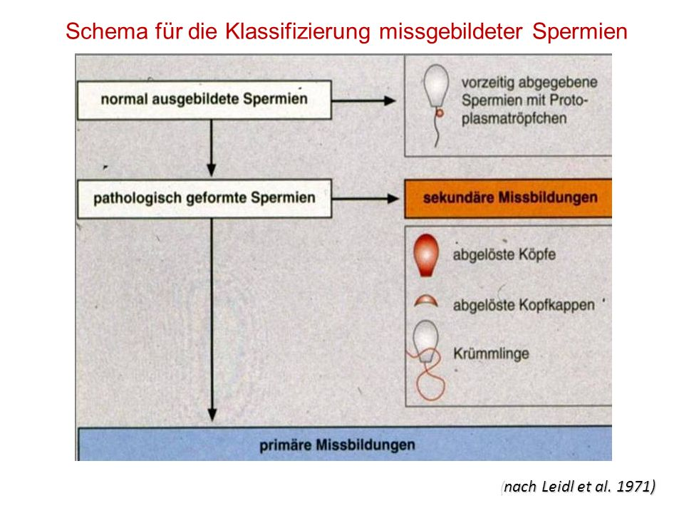 Schema für die Klassifizierung missgebildeter Spermien