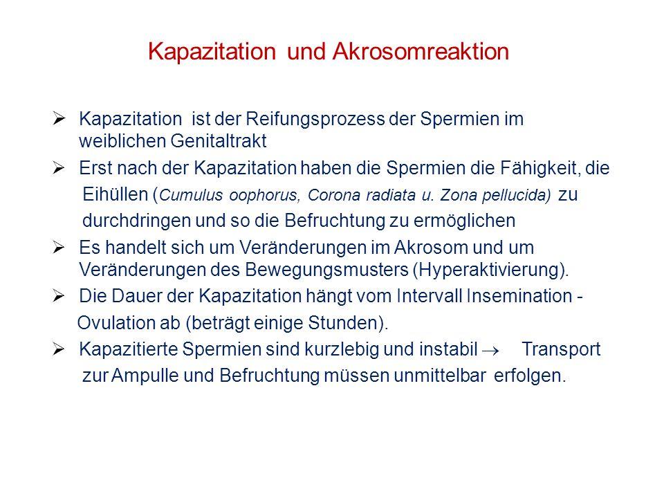Kapazitation und Akrosomreaktion