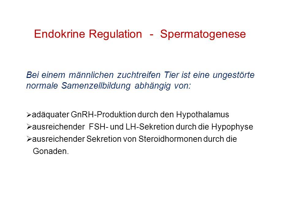 Endokrine Regulation - Spermatogenese