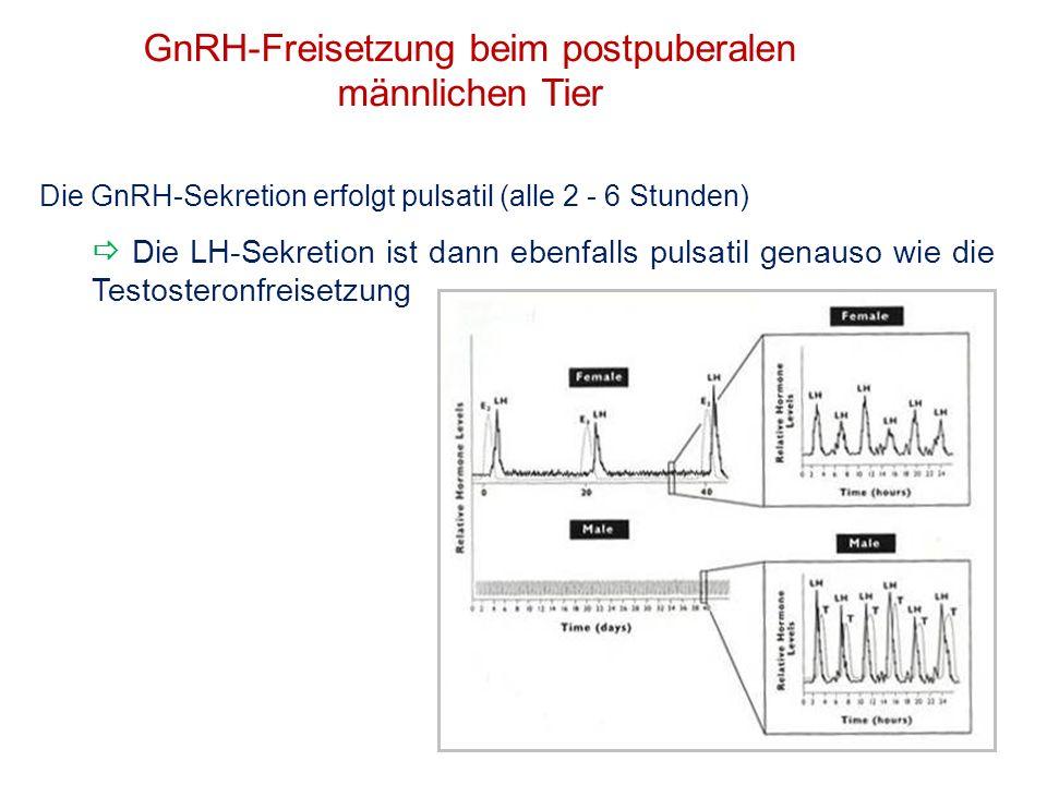 GnRH-Freisetzung beim postpuberalen männlichen Tier